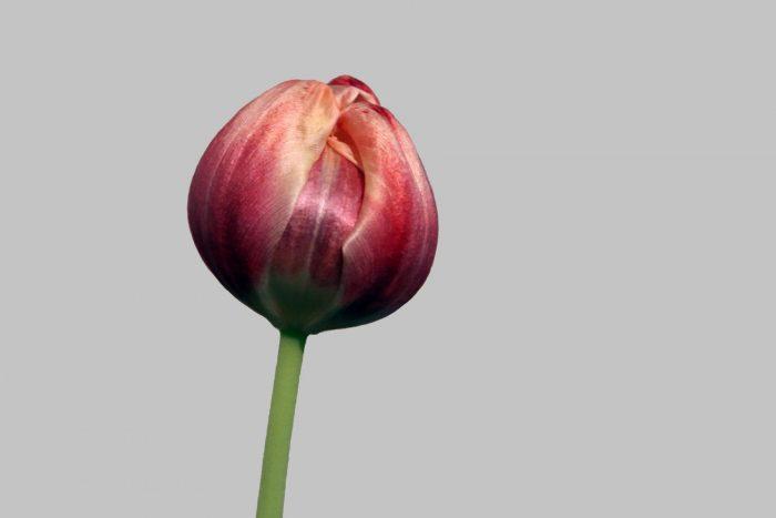 Tulpen im Zeitraster