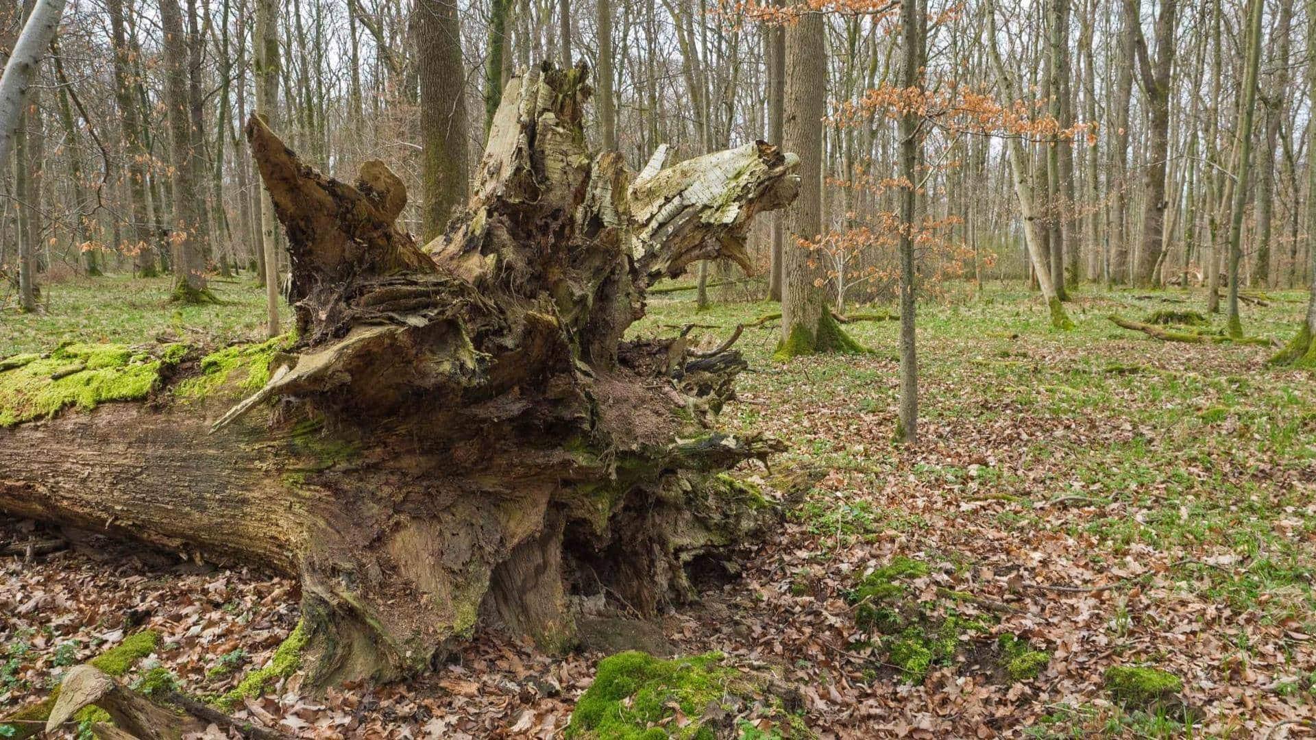 Dieser Baumstamm bietet ein Winterquartier für viele Arten.
