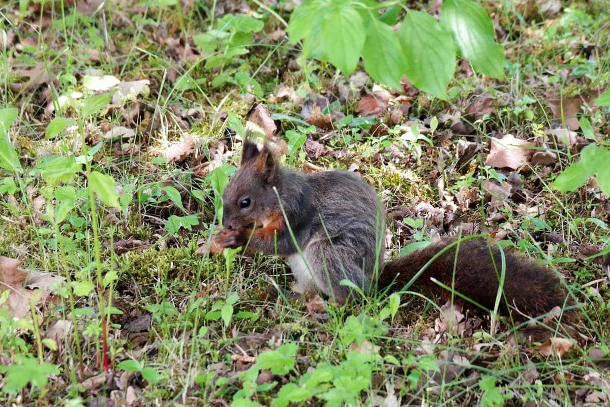 Eichhörnchen Juni 2016