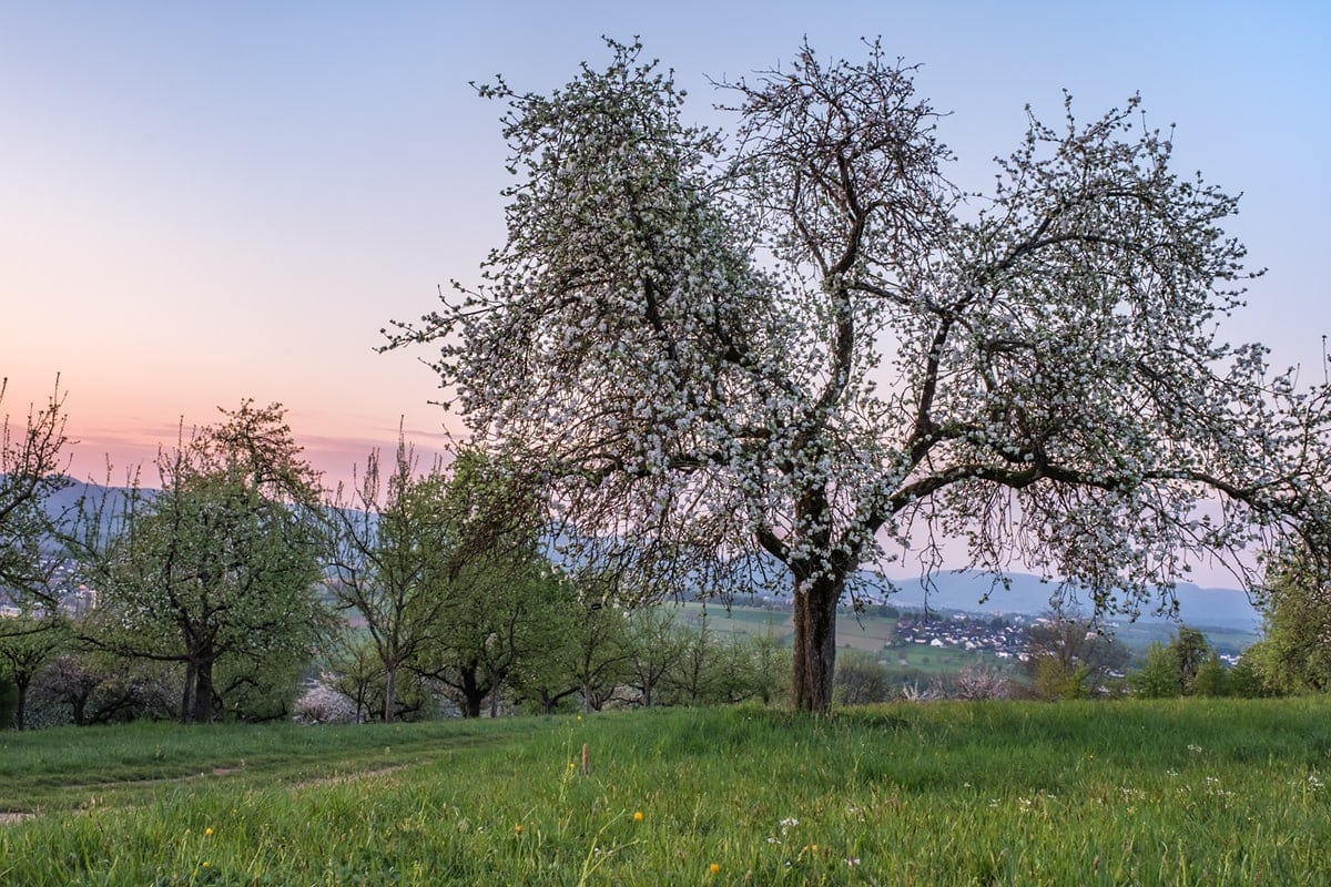 Wenn die Obstbäume blühen