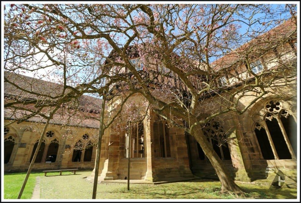 Der Magnolienbaum des Klosters Maulbronn ist eine besondere Attraktion.
