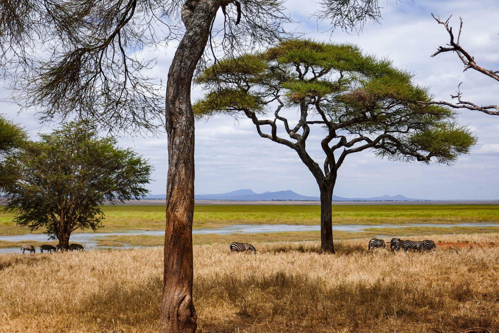 Friedlich grasende Zebras unter Schirmakazien, Savanne, Sumpf, endlose Weite. Da geht das Herz auf!