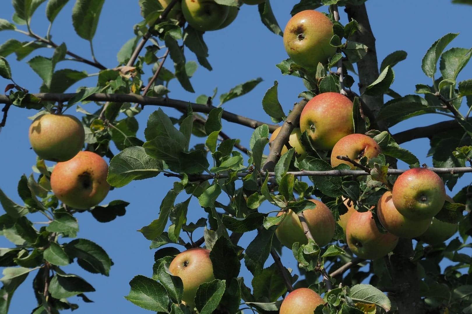 In diesem Herbst hatten wir wieder eine reiche Apfelernte.