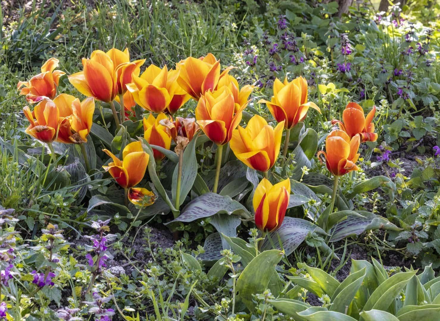 Gönniger Tulpenblüte