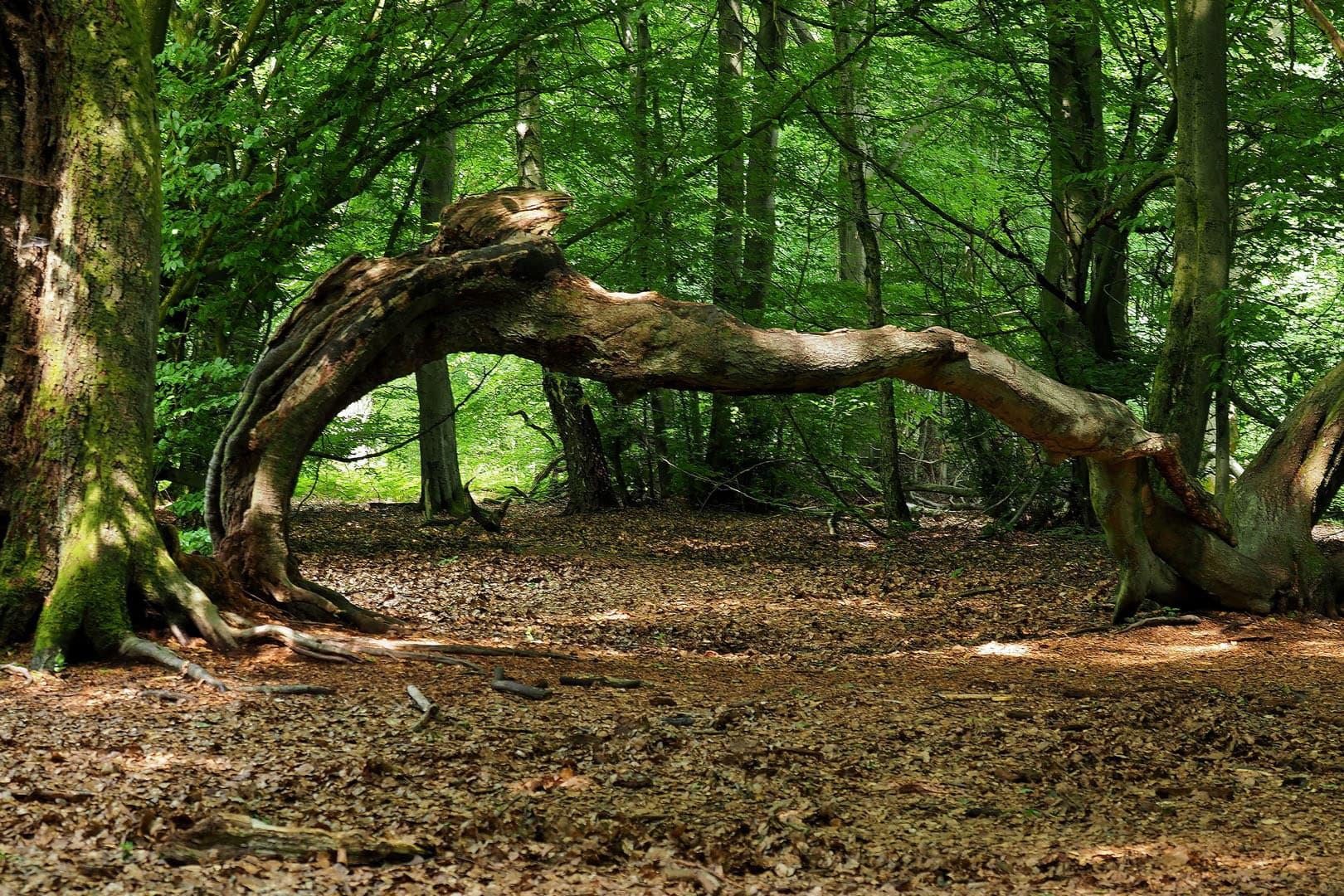 Ein Wald wie ein Märchen aus alten Zeiten.